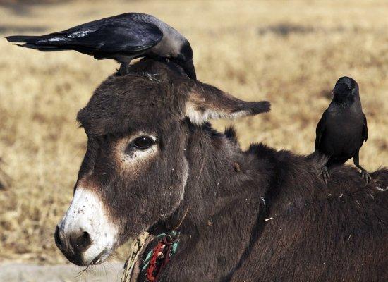 DonkeyRavens