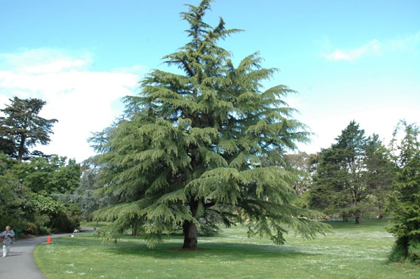 Deodar means Tree of Gods