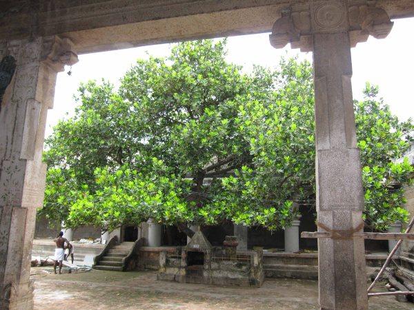 punnai-tree