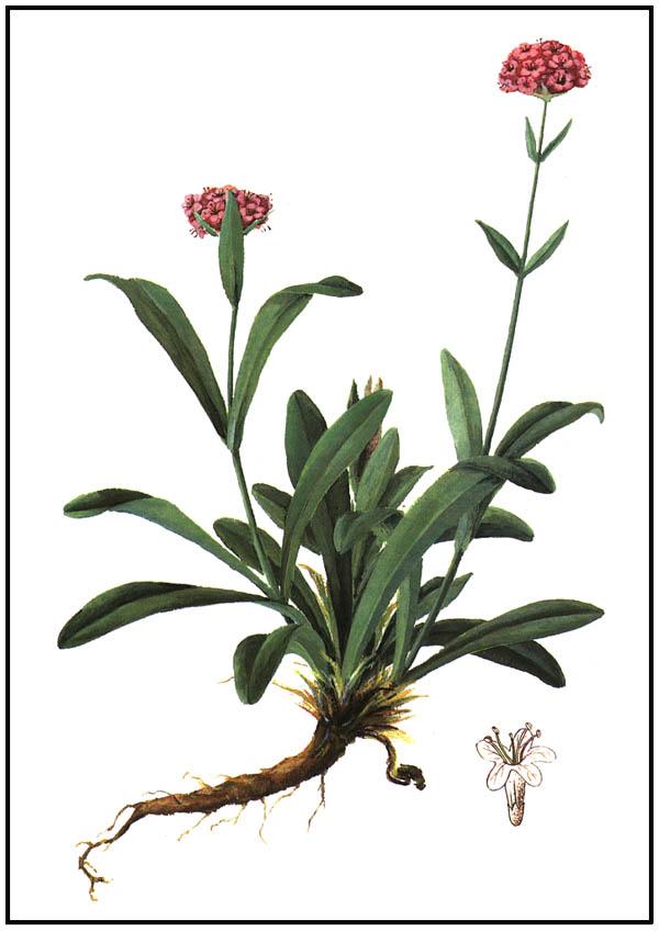 Jatamansi_flowering_plant