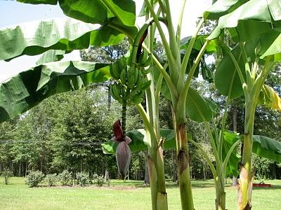 8-24 banana trees[1]