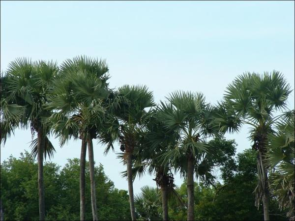 palmyrah_palm_trees