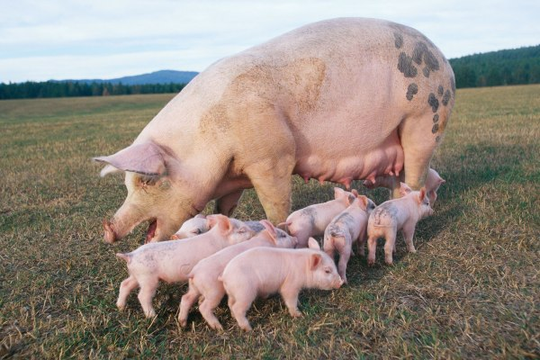 Pig and Piglets