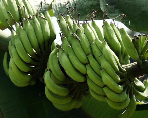 banana(1)green