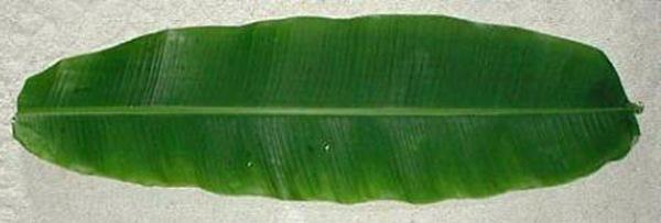 banana_leaf