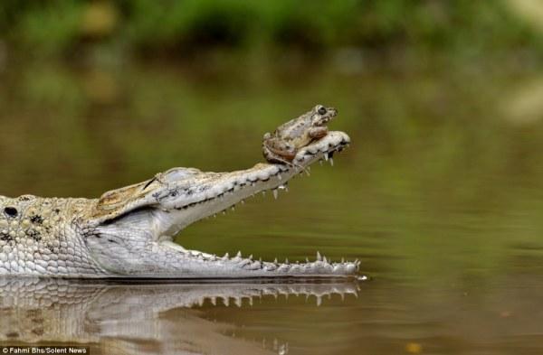 frogcrocodile
