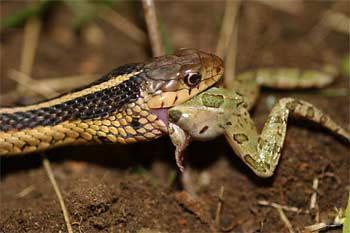 snake-frog
