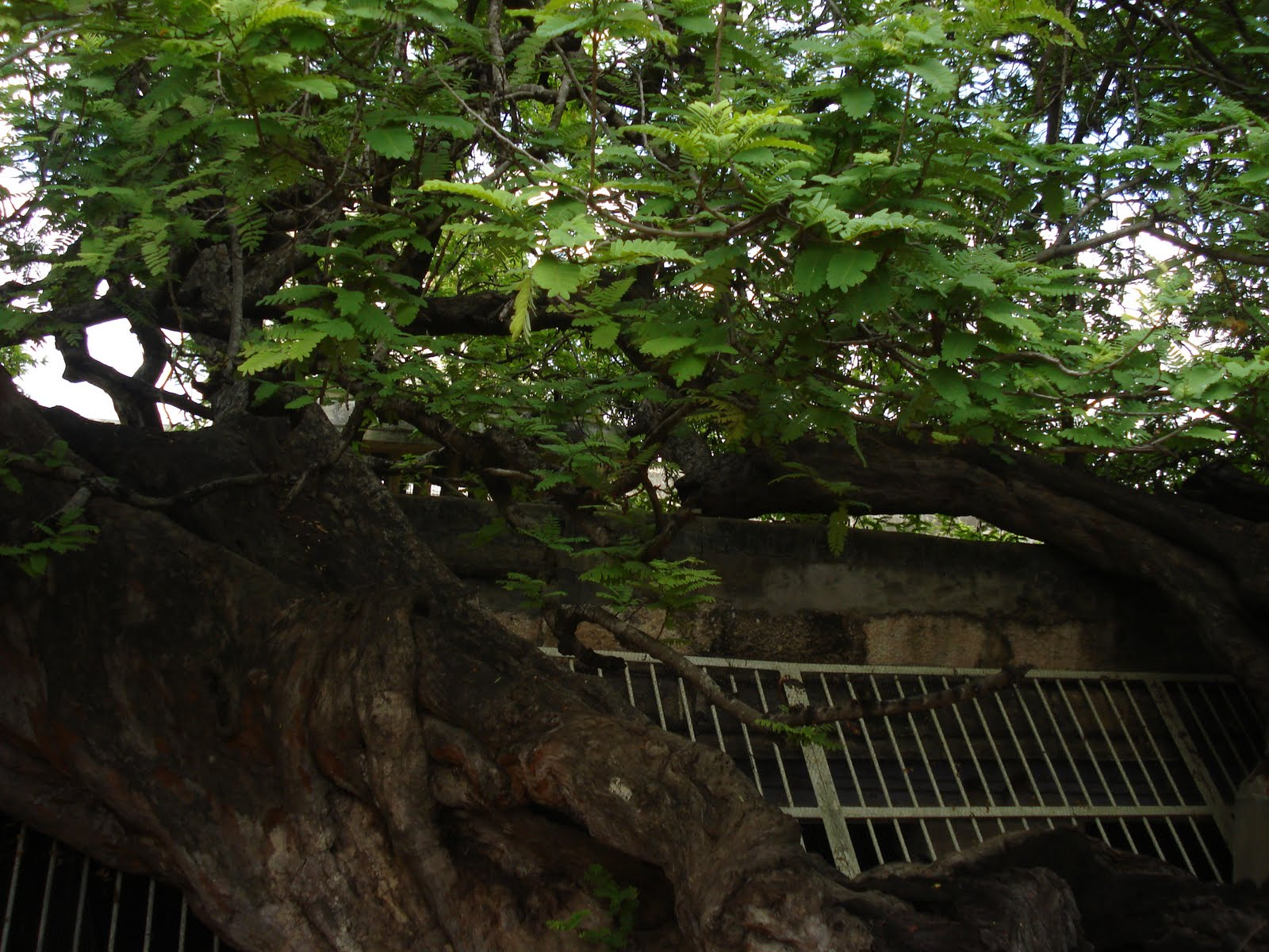 Tamarind Tree | Tamil and Vedas
