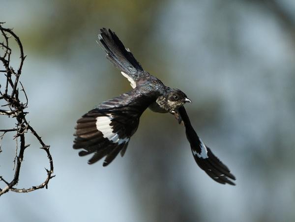 04-willem-jacobin-cuckoo