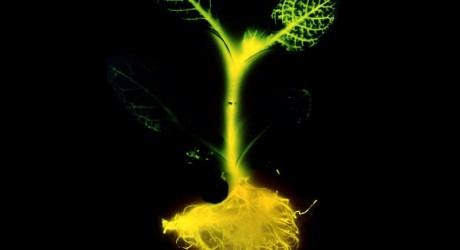 glowing_plant_genetically engineered