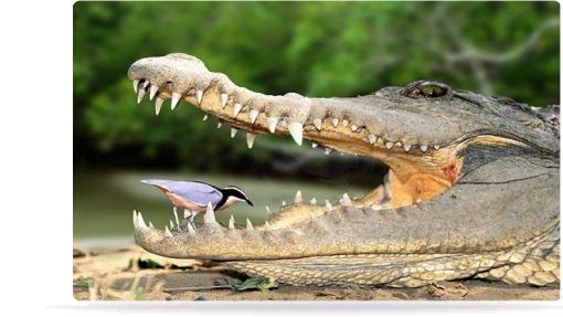 nile crocodile and bird symbiotic relationship definition