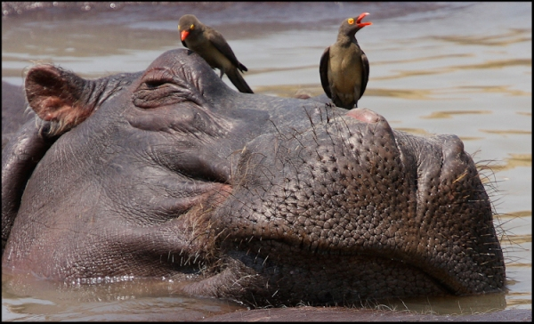 Hippo and Oxpeckers - Highly Commended - Paula Martin