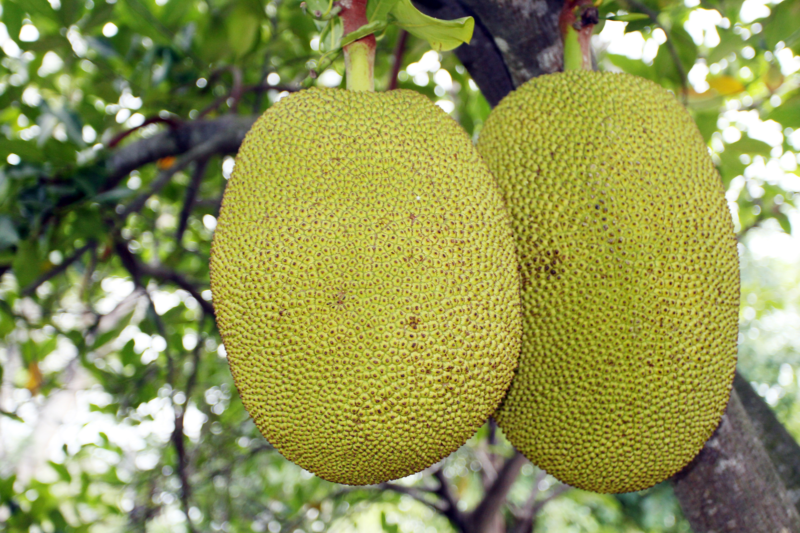 jackfruits-7811209