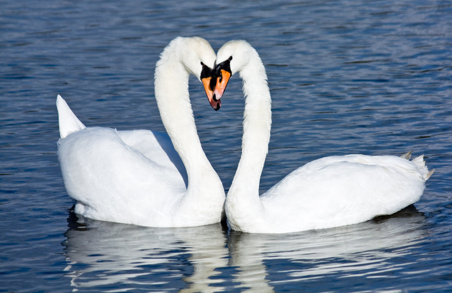 Mystery about Swan: Can it separate Milk from Water? (1/6)