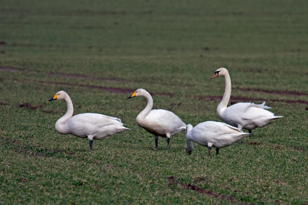 Mystery about Swan: Can it separate Milk from Water? (2/6)
