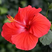 bunga-raya-malaysia