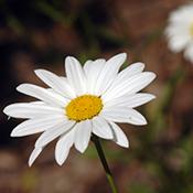 daisy-italy