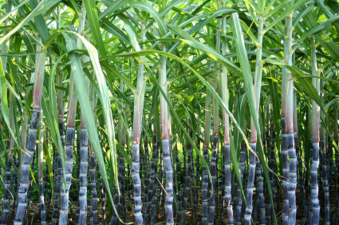 Sugar cane | Tamil and Vedas