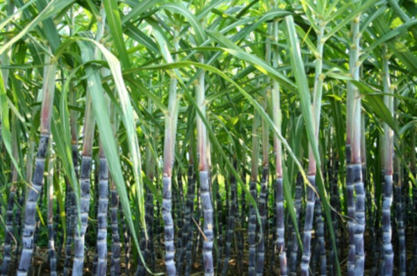 sugar-cane-plantation