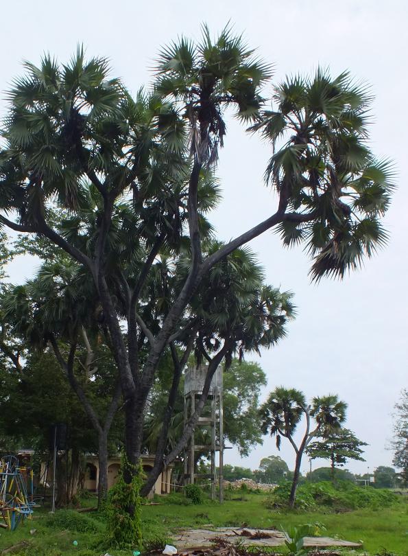 battocaola branched palmyra