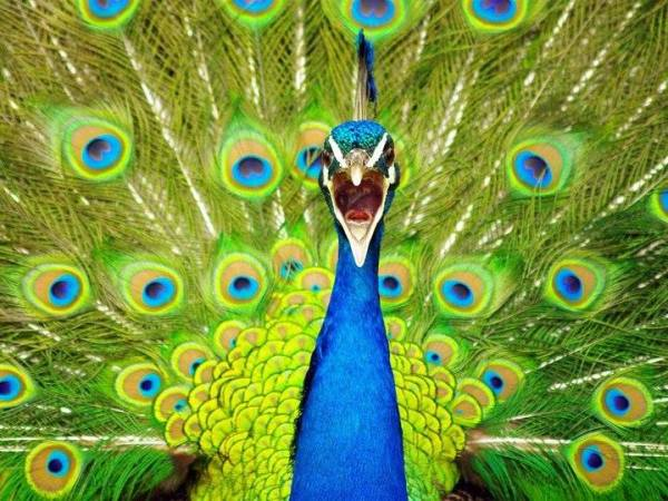 Peacock cry