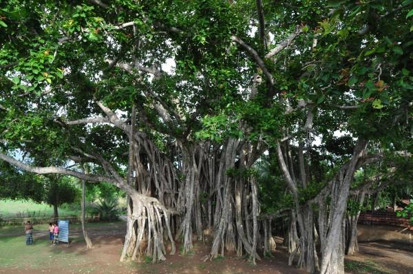 Banyan_tree-2