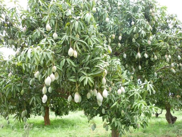 Mango_tree_in_Kolar
