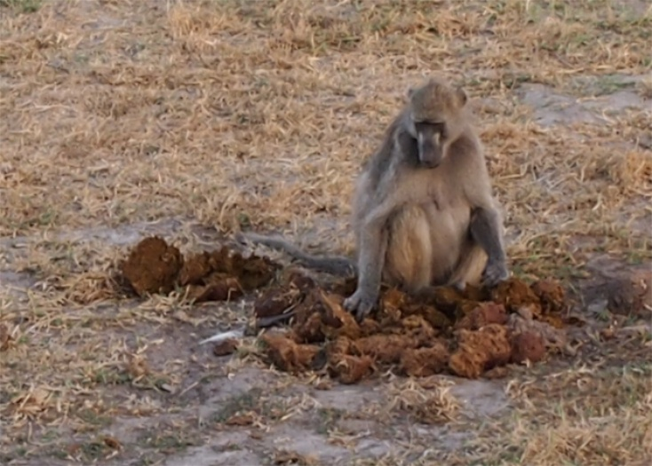 Elephant Eat Deer Baboon Eats Elephant Poo in