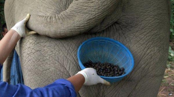 coffee elephant poo