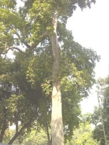Arjuna Tree Telugu Name