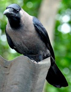 Common_Crow_01
