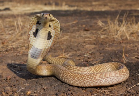 pictures-of-king-cobra-snakes