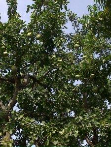 2_vilvam_tree