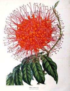 asoka, saraca indica