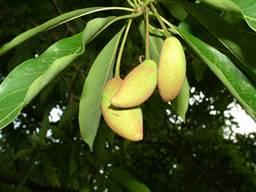Bassia latifolia_clip_image002