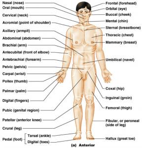 man body parts - 868×866