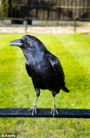 Strange Belief about Crows in India and Britain!! | Tamil