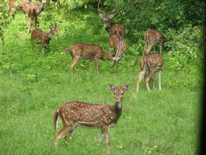 deer-in-india-forest