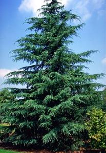 deodar-tree1
