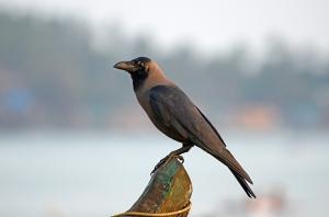 காகம்