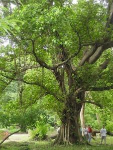 ebony-tree2