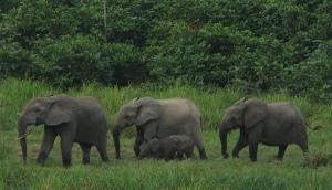 forest-elephants