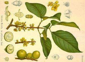 Garcinia morella, Tapincha