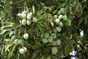 mango-tree-with-fruits