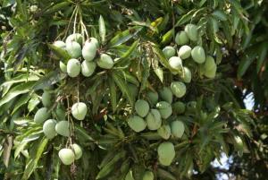 mango-tree-with-fruits