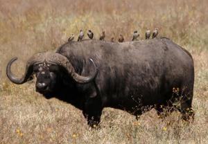 on buffalo