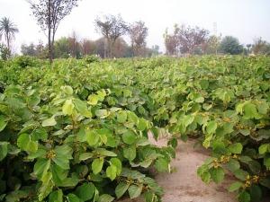 Phalsa, Grewia asiatica