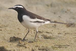 Whit browed WagtailBP1