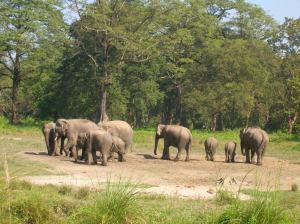 Wild_Elephants_at_Jaldapara