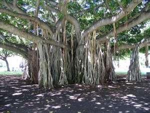 banyan-tree-aerial-root